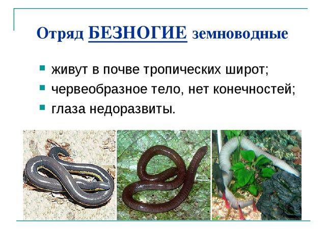 Отряд БЕЗНОГИЕ земноводные живут в почве тропических широт; червеобразное тел...