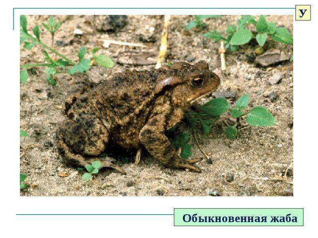 Обыкновенная жаба У