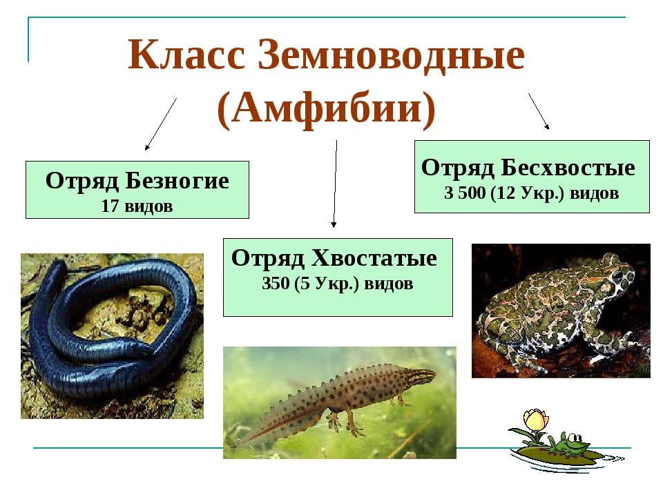 Отряд Бесхвостые 3 500 (12 Укр.) видов Отряд Хвостатые 350 (5 Укр.) видов Отр...