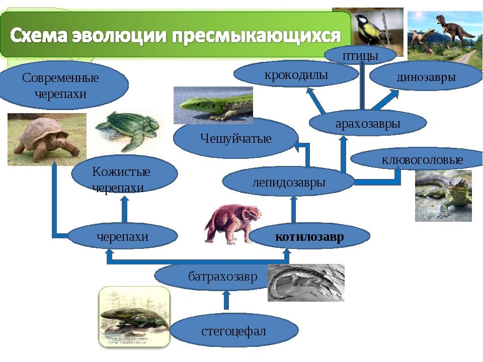 стегоцефал батрахозавр черепахи котилозавр лепидозавры Современные черепахи К...