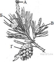 зародыш листьев в семени 8 букв сканворд