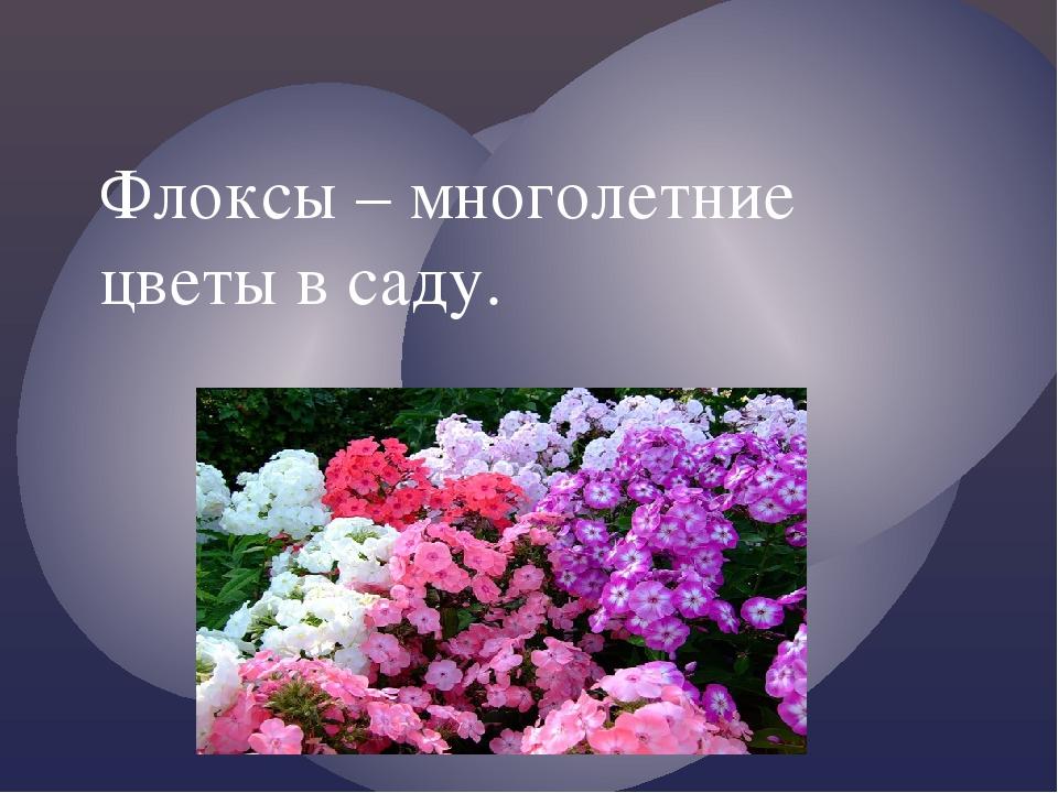 Флоксы – многолетние цветы в саду. {