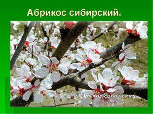 Абрикос сибирский.