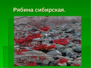 Рябина сибирская.
