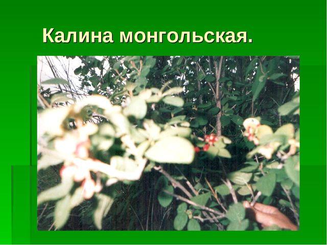 Калина монгольская.