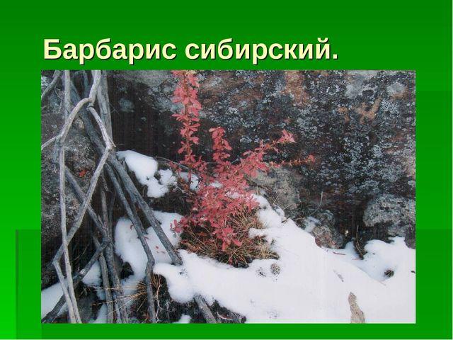 Барбарис сибирский.