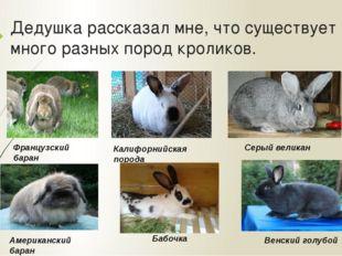 Дедушка рассказал мне, что существует много разных пород кроликов. Французски