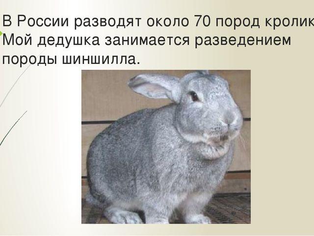 В России разводят около 70 пород кроликов. Мой дедушка занимается разведением...