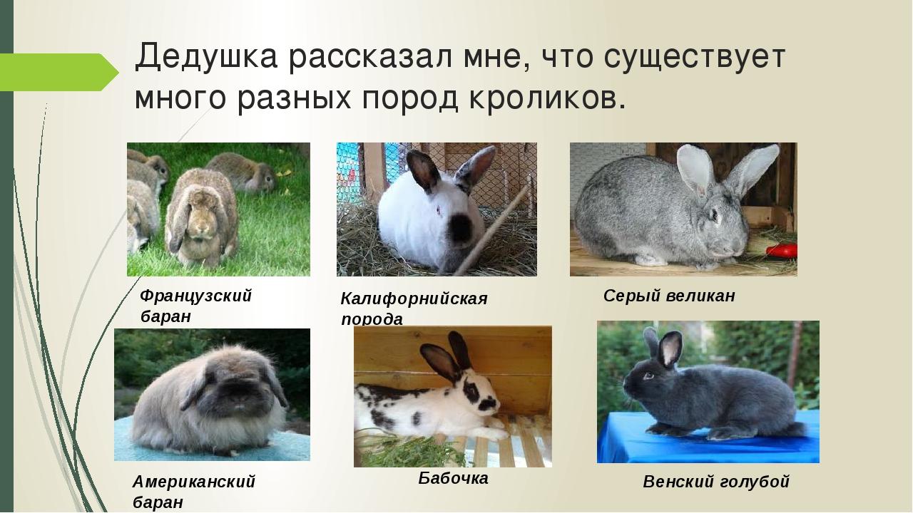Дедушка рассказал мне, что существует много разных пород кроликов. Французски...