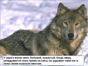 У серого волка хвост большой, пушистый. Когда зверь укладывается спать прямо