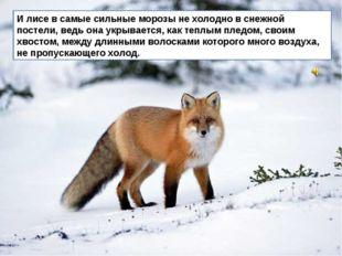 И лисе в самые сильные морозы не холодно в снежной постели, ведь она укрывает