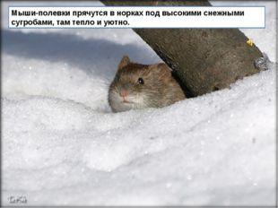 Мыши-полевки прячутся в норках под высокими снежными сугробами, там тепло и у