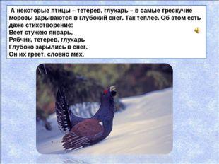 А некоторые птицы – тетерев, глухарь – в самые трескучие морозы зарываются в
