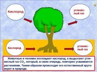 углекис-лый газ углекис-лый газ Кислород Кислород Животные и человек поглощaю