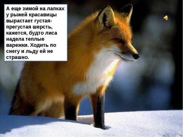 А еще зимой на лапках у рыжей красавицы вырастает густая-прегустая шерсть, ка...