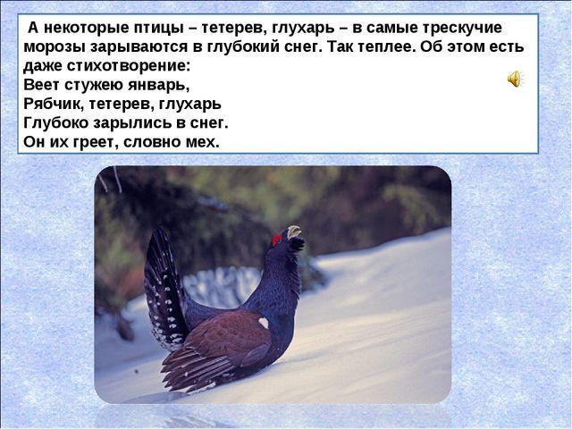 А некоторые птицы – тетерев, глухарь – в самые трескучие морозы зарываются в...