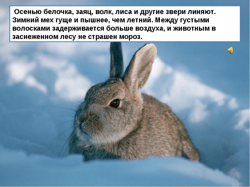 Осенью белочка, заяц, волк, лиса и другие звери линяют. Зимний мех гуще и пы...