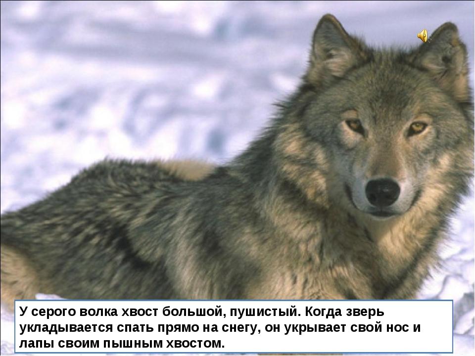 У серого волка хвост большой, пушистый. Когда зверь укладывается спать прямо...