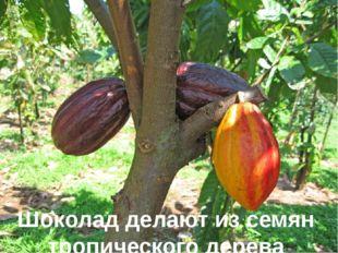 Шоколад делают из семян тропического дерева какао.