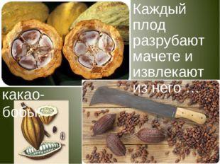 Каждый плод разрубают мачете и извлекают изнего … какао-бобы.