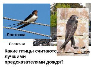 Какие птицы считаются лучшими предсказателями дождя? Ласточка Ласточка Чёрный
