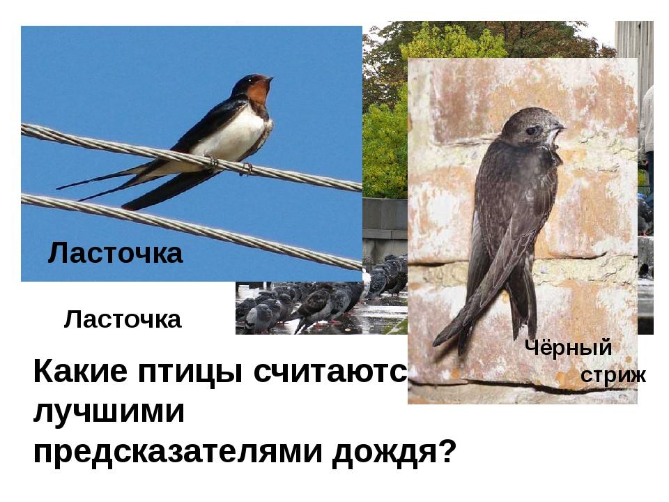 Какие птицы считаются лучшими предсказателями дождя? Ласточка Ласточка Чёрный...