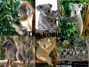 The koala