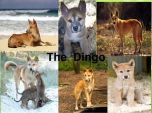 The Dingo