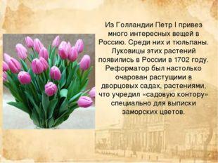 Из Голландии Петр I привез много интересных вещей в Россию. Среди них и тюльп