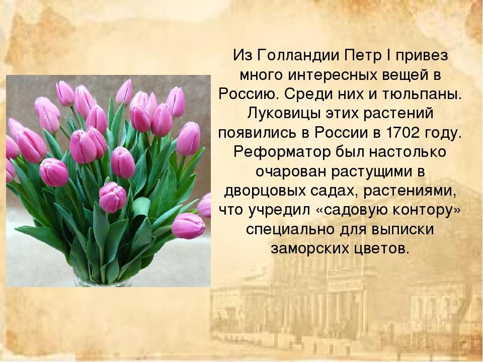 Из Голландии Петр I привез много интересных вещей в Россию. Среди них и тюльп...