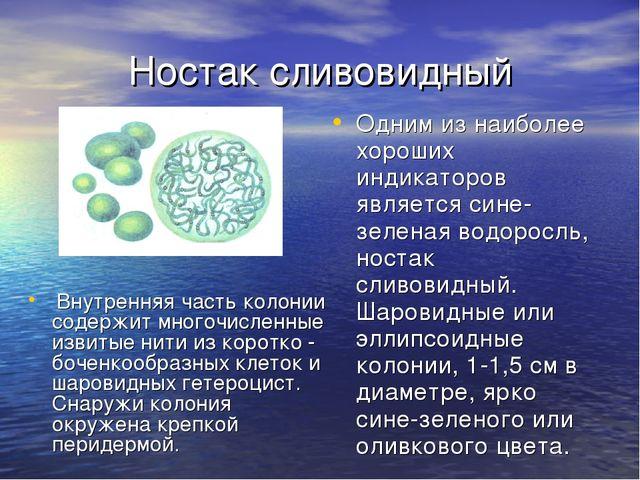 Ностак сливовидный Внутренняя часть колонии содержит многочисленные извитые н...