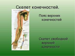 Скелет конечностей. Пояс верхних конечностей Скелет свободной верхней конечно