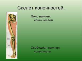 Скелет конечностей. Пояс нижних конечностей Свободная нижняя конечность