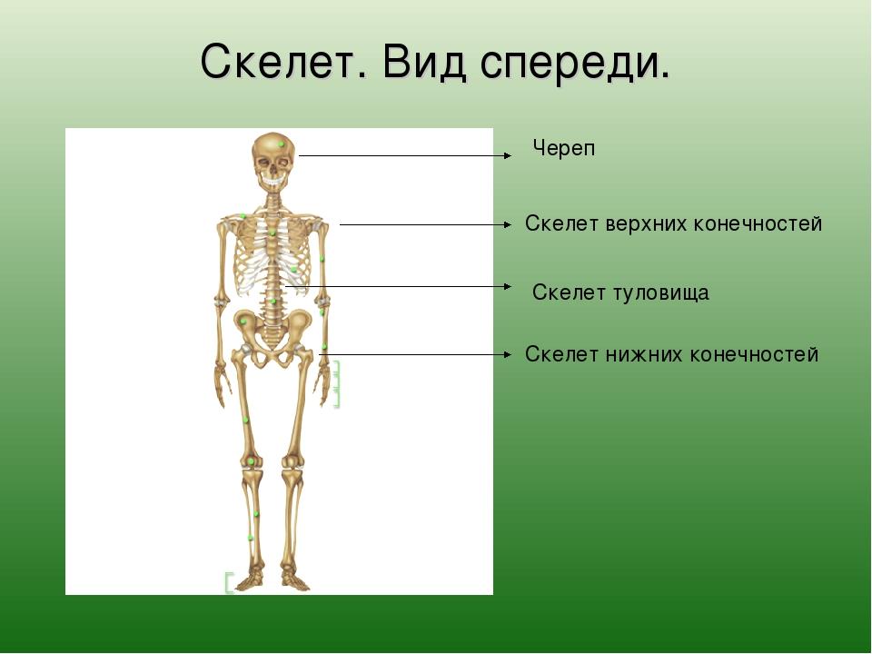 Скелет. Вид спереди. Череп Скелет туловища Скелет верхних конечностей Скелет...