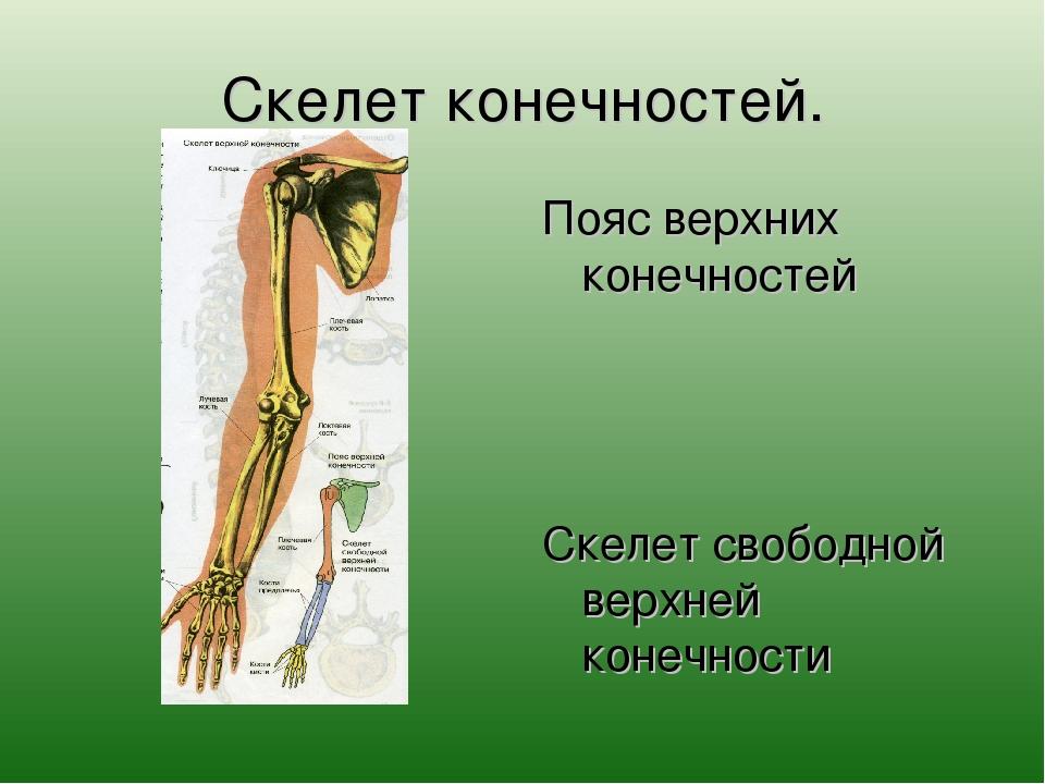 Скелет конечностей. Пояс верхних конечностей Скелет свободной верхней конечно...