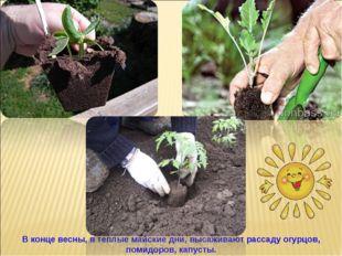 В конце весны, в теплые майские дни, высаживают рассаду огурцов, помидоров, к