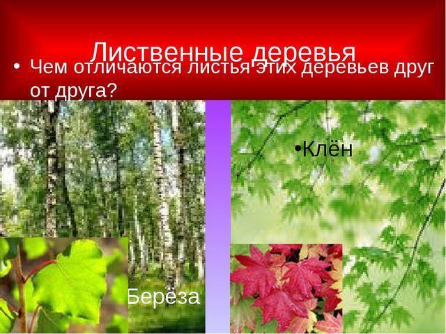 Лиственные деревья Чем отличаются листья этих деревьев друг от друга? Берёза...