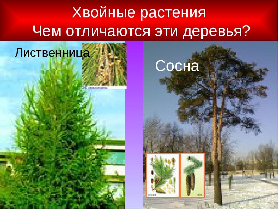Хвойные растения Чем отличаются эти деревья? Лиственница Сосна