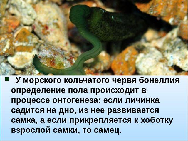 У морского кольчатого червя бонеллия определение пола происходит в процесс...