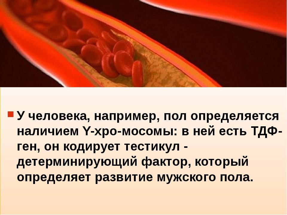 У человека, например, пол определяется наличием Y-xpo-мосомы: в ней есть ТДФ...
