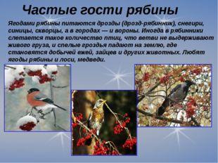 Ягодами рябины питаются дрозды (дрозд-рябинник), снегири, синицы, скворцы, а