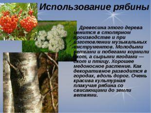 Использование рябины Древесина этого дерева ценится в столярном производстве