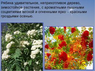 Рябина удивительное, неприхотливое дерево, зимостойкое растение, с ароматными