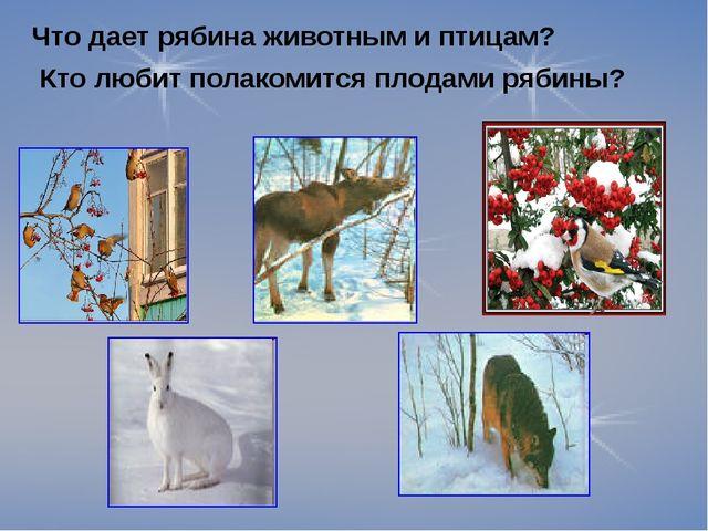 Что дает рябина животным и птицам? Кто любит полакомится плодами рябины?