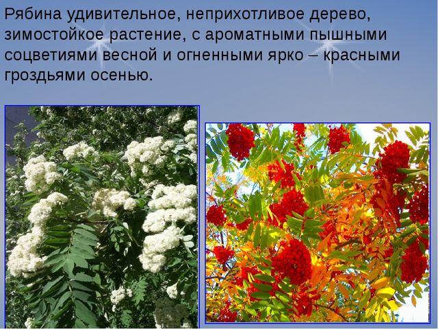 Рябина удивительное, неприхотливое дерево, зимостойкое растение, с ароматными...