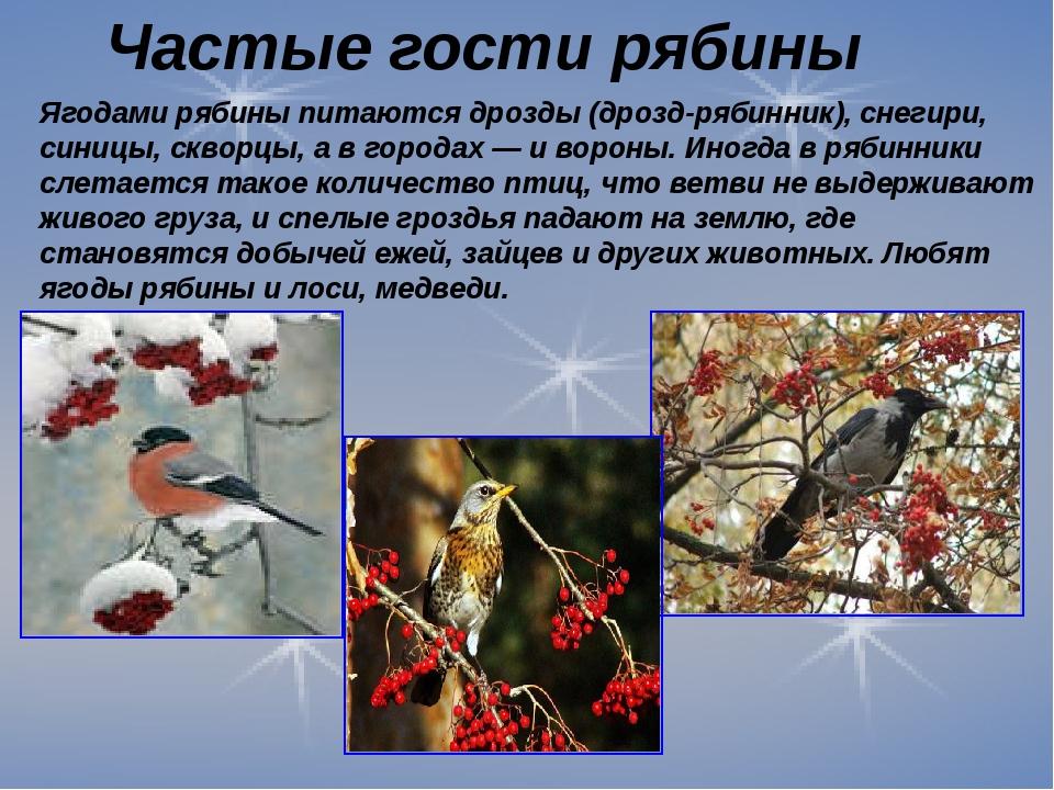 Ягодами рябины питаются дрозды (дрозд-рябинник), снегири, синицы, скворцы, а...