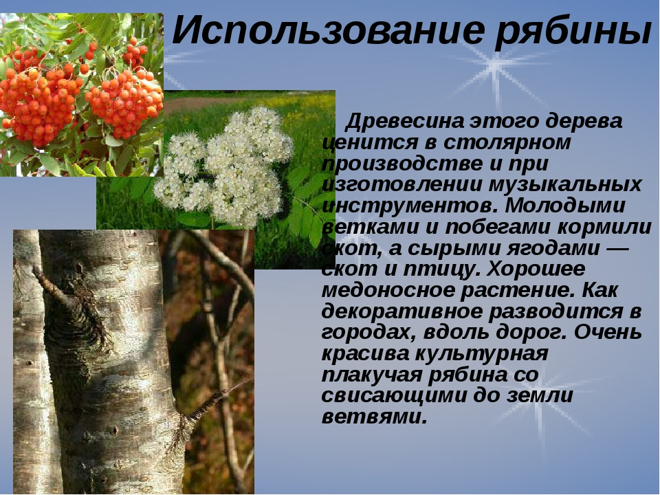 Использование рябины Древесина этого дерева ценится в столярном производстве...
