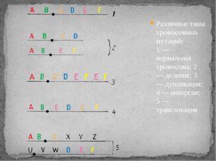 Различные типы хромосомных мутаций: 1 — нормальная хромосома; 2 — деления; 3