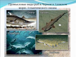 Промысловые виды рыб в Черном и Азовском морях Атлантического океана