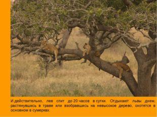 Идействительно, лев спит до20часов всутки. Отдыхают львы днем, растянувши